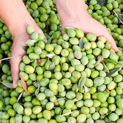 Olio extravergine di oliva nel cilento in campania patria for Raccolta olive periodo